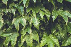 Fresh green leaves pattern background. Natural background and wallpaper.  stock photo