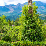 Fresh green leaves pepper (Piper Nigrum) growing on the tree tea Royalty Free Stock Image
