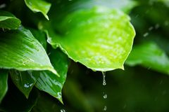 Fresh green leaves with rain water drops. Closeup of fresh green leaves with rain water drops Royalty Free Stock Photos