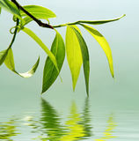 Fresh green leaves reflected in water. Green branch of a willow reflected in water Royalty Free Stock Photos