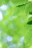 Fresh green leaves with smooth bokeh Royalty Free Stock Image