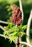 Fresh green leaves of Staghorn sumac or Rhus typhina dioecious deciduous tree with dark red partially dried dense cone shaped. Flowers planted in local garden royalty free stock photo