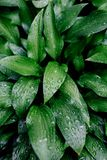 Green leaves after rain. royalty free stock photo