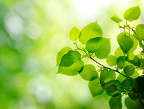 Fresh and green leaves. With sun ray Royalty Free Stock Photography