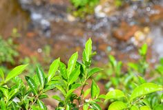 Fresh Green Leaves of Tea Plant - Camellia Sinensis against Green Background. This is a photograph of fresh green leaves of tea plant - camellia sinensis Royalty Free Stock Photos