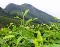 Fresh Green Leaves of Tea Plant - Camellia Sinensis - in Tea Plantation over Hills. This is a photograph of fresh, green leaves of tea plant - camellia sinensis Royalty Free Stock Images