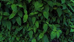 Fresh Green leaves texture for nature background and design,foliage nature background. stock photos