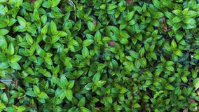 Fresh Green leaves texture for nature background and design,foliage nature background. stock photography