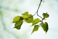Fresh green leaves of tilia Royalty Free Stock Image