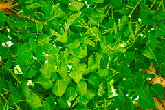 Fresh Green Leaves and Tree Royalty Free Stock Images