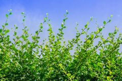 Fresh green leaves on tree and blue sky Stock Image