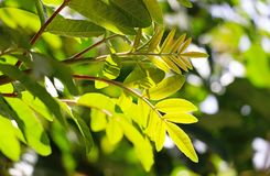 Fresh green leaves on a tree on a sunny day Stock Photos
