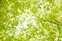 Fresh green leaves. Of trees Royalty Free Stock Images