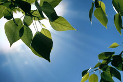 Fresh green leaves of trees on clear blue sky Stock Photo