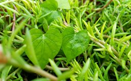 Fresh green leaves royalty free stock images