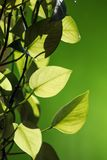 Green leaves. Fresh green leaves with vitality Royalty Free Stock Images