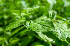 Fresh green leaves with water drops Royalty Free Stock Photo