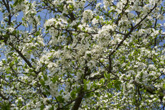 Fresh green leaves and white flowers of cherry tree Royalty Free Stock Photos