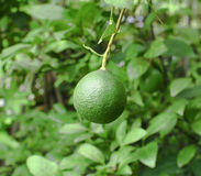 Fresh green lemon. On tree Stock Image