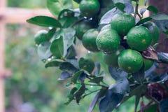 Green lemon organic limes on tree. Fresh green lemon organic limes on tree royalty free stock photography
