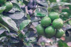Green lemon organic limes on tree. Fresh green lemon organic limes on tree royalty free stock image