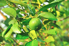Fresh green lemon on tree Stock Images