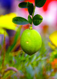 Fresh green lemon in tropical garden Royalty Free Stock Photo