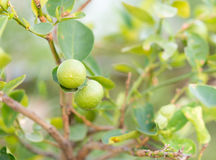 Fresh green lemons Royalty Free Stock Photos