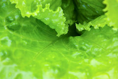 Fresh green lettuce. Close-up after the rain. Shallow depth of field Stock Images