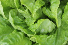 Fresh green lettuce Royalty Free Stock Photos
