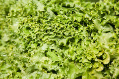 Fresh green lettuce. Green lettuce background with water drops Royalty Free Stock Image