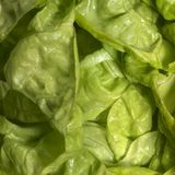 Fresh green lettuce closeup Royalty Free Stock Photos