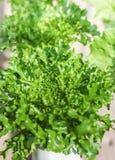 Fresh green lettuce grown in hydroponic Stock Image