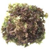 Fresh green lettuce isolated. On white background Stock Images