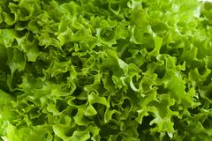 Fresh green lettuce jagged close up Stock Image