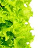 Fresh Green Lettuce Stock Image