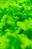 Fresh green lettuce leaves. With rain drops Stock Photos