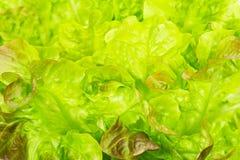 Fresh green lettuce leaves, background macro Stock Photography