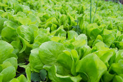 Fresh green lettuce Stock Photography