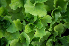 Fresh green lettuce organic plant background Stock Photo