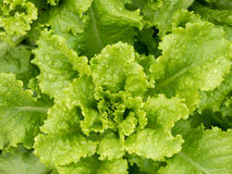 Fresh green lettuce plant Stock Image