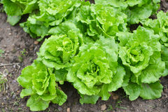 Fresh Green Lettuce plantation Royalty Free Stock Photography