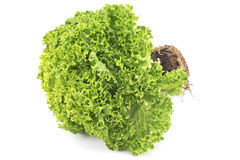 Fresh green lettuce with root Stock Photo