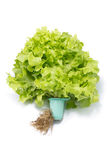Fresh green lettuce with root Royalty Free Stock Image