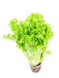 Fresh green lettuce with root Royalty Free Stock Images