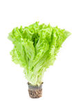 Fresh green lettuce with root Stock Photos