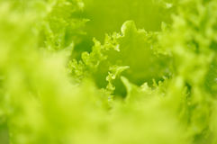Fresh green lettuce salad Royalty Free Stock Photos