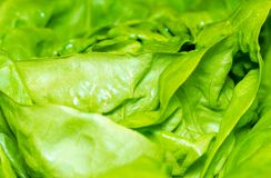Fresh green lettuce salad background.  Royalty Free Stock Image