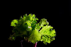 Fresh green lettuce salad on black background Royalty Free Stock Photography