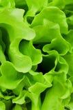Fresh green lettuce salad closeup Royalty Free Stock Images